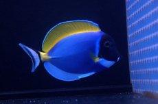 画像2: 【海水魚】パウダーブルータン MLサイズ (1匹)10-12cm前後(生体)(海水魚)(サンゴ) (2)