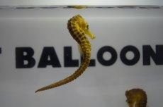 画像2: 【海水魚・タツノオトシゴ】ブリード カリビアンシーホース(Yellow)(1匹)±5-6cm(サンプル画像)(生体)(海水魚)(サンゴ) (2)