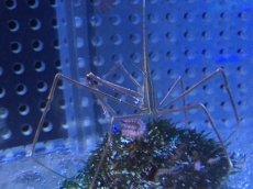 画像3: 【海水魚・カニ】アロークラブ (1匹)±6-8cm(生体)(海水魚)(サンゴ) (3)