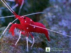 画像1: 【海水魚】ホワイトソックス  L~XLサイズ スリランカ産(1匹)(生体)(海水魚)(サンゴ) (1)