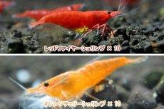 画像2: 【エビ】【シュリンプ】【送料梱包料金無料】レッド&オレンジセット 合計20匹(1.2-1.5cm)(生体)(淡水) (2)