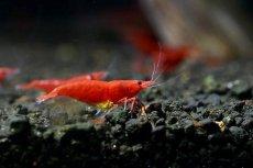 画像2: 【エビ】【シュリンプ】レッドファイヤーシュリンプ10匹(1.2-1.5cm)(生体)(淡水) (2)