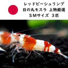 画像1: 【エビ】【シュリンプ】レッドビーシュリンプ バンド SMサイズ10匹(±1.0cm)(生体)(淡水) (1)