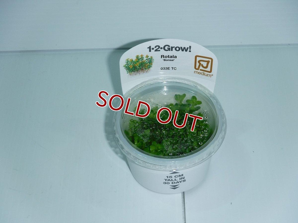 画像1: 【水草】トロピカ社 1・2・Grow ロタラsp.ボンサイ(無農薬)【1カップ】 (1)