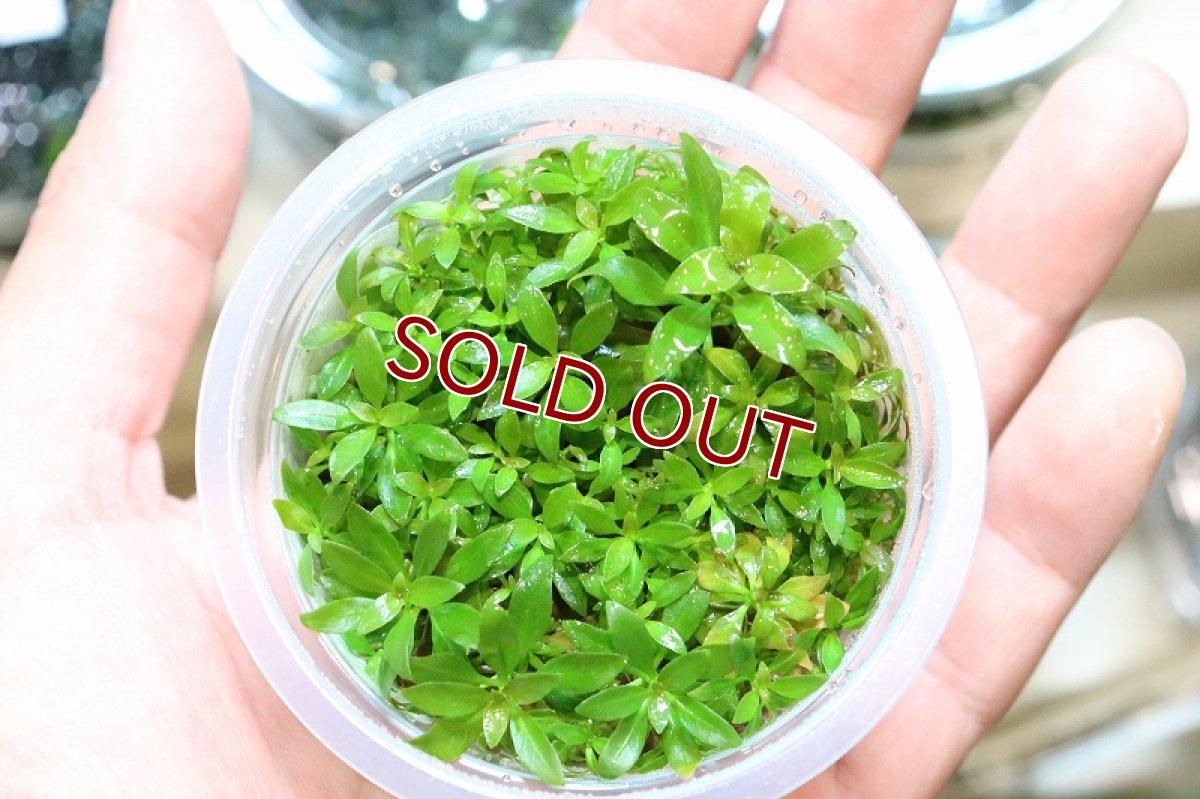 画像1: 【水草】(組織培養)ルドヴィジア グランデュローサ(無農薬)【1カップ】 (1)