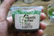画像2: 【水草】(組織培養)ルドヴィジア グランデュローサ(無農薬)【1カップ】 (2)