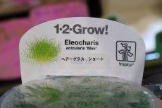 画像3: 【水草】トロピカ社 ショートヘアーグラス(組織培養)1カップ (3)
