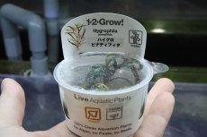 画像1: 【水草】(組織培養)トロピカ社 ハイグロフィラ ピンナティフィダ(無農薬)【1カップ】(活着) (1)
