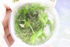画像2: 【水草】(組織培養)トロピカ社 クリプトコリネ ウェンティ グリーン(無農薬)【1カップ】(陰性水草) (2)