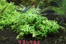画像2: 【水草】(組織培養)ラヌンクルス イヌンダタス(無農薬)【1カップ】中景草) (2)