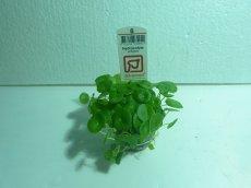 画像1: 【水草】トロピカ社 ウォーターマッシュルーム (無農薬)【3ポット】 (1)