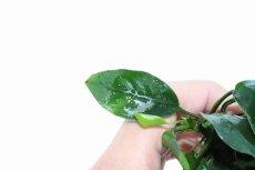 画像4: 【水草】トロピカ社 アヌビアス ナナ(無農薬)【1ポット】(陰性水草) (4)