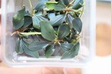 画像3: 【水草】(組織培養)ブセファランドラspチェリッシュ(無農薬)【1カップ】 (3)