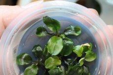 画像2: 【水草】(組織培養)ブセファランドラspマイア(無農薬)【1カップ】 (2)