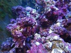 画像5: 【ライブロック】リアルリーフロック(M)  Real Reef Rock (1kg)(生体)(海水魚)(サンゴ) (5)