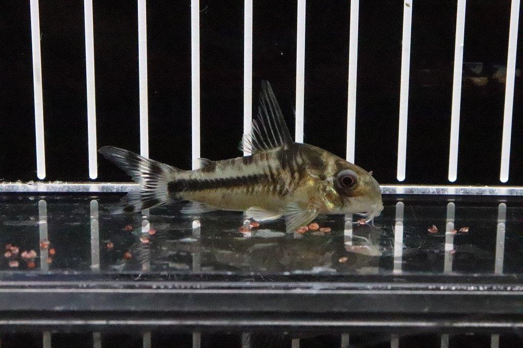 画像1: 【淡水魚】特価 コリドラス ボエセマニー スリナムリバー産 ワイルド【個体販売】(±5cm)(コリドラス)(生体)(淡水)NKCR20200629 (1)