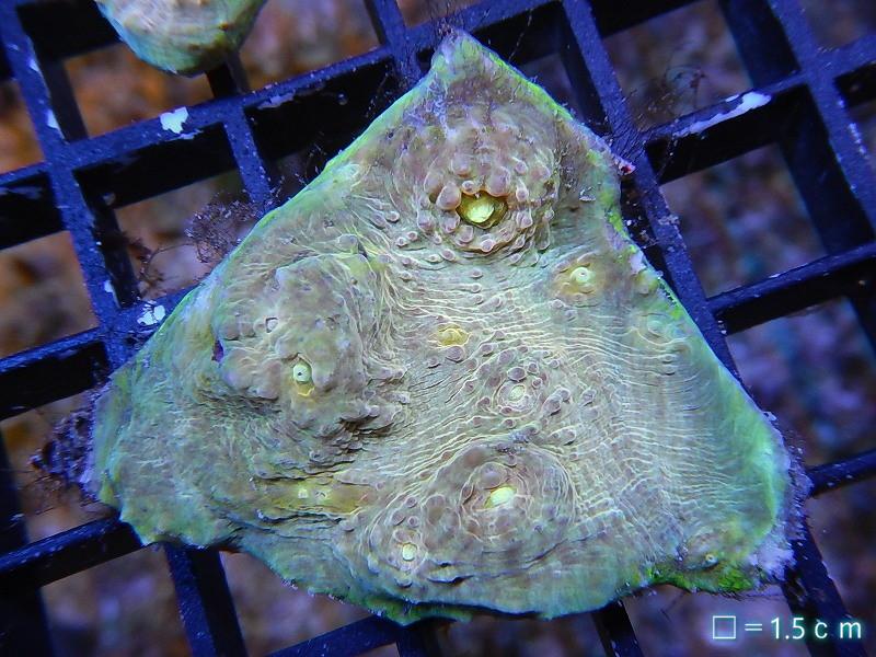 画像1: 【サンゴ】【ハードコーラル】【個体販売】キッカサンゴsp.(Special Color)  No.07  (キッカサンゴ)(生体)(海水)(生体) (1)