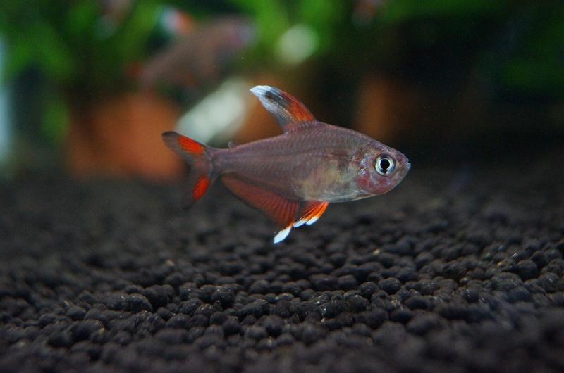 画像1: 【淡水魚】ホワイトフィンロージーテトラ【10匹】(生体)【小型カラシン】(熱帯魚)NKIK (1)