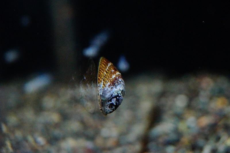 画像1: 【熱帯魚】【小型カラシン】【1個】フネアマガイ(カラシン)(生体)(淡水) (1)