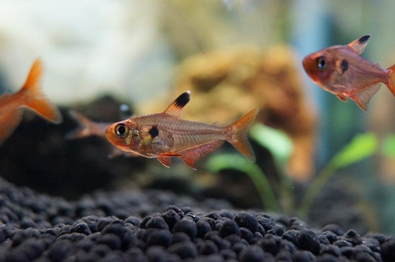 画像1: 【淡水魚】[お取り寄せ]レッドファントムテトラ【10匹】(生体)【カラシン】(熱帯魚)NKIK (1)