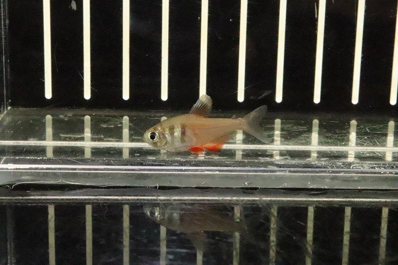 画像1: 【淡水魚】特価 フレームテトラ リオデジャネイロ産 ワイルド【1匹】(珍カラ)(生体)(熱帯魚)NKCK (1)