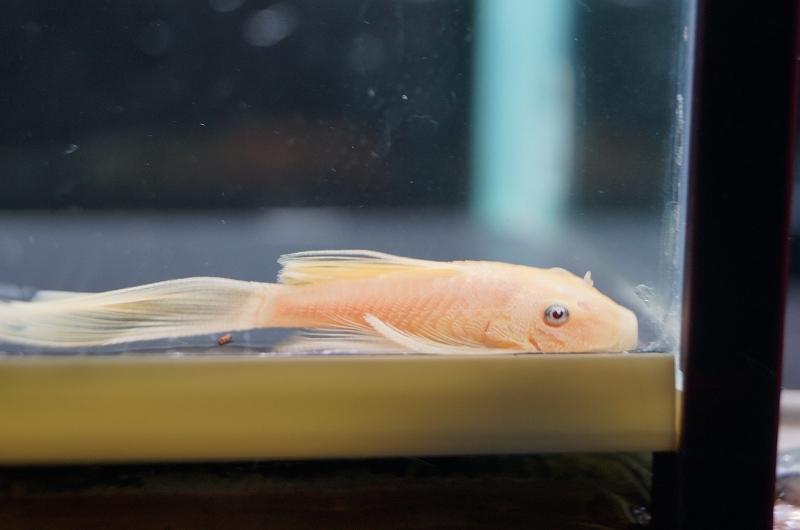 画像1: 【淡水魚】ロングフィンブルーアイゴールデンミニブッシープレコ ±4cm【1匹】(生体)【プレコ】(熱帯魚)NKP (1)