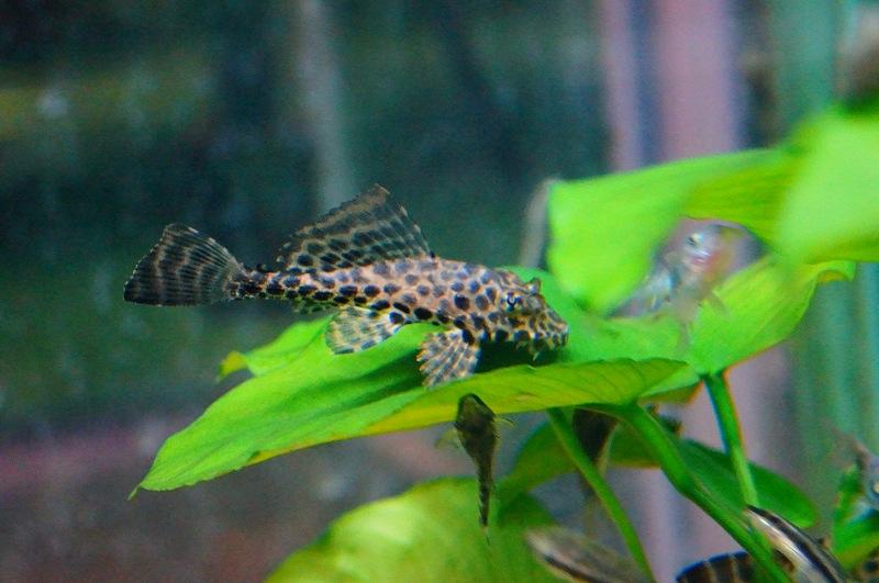 画像1: 【淡水魚】[お取り寄せ]セルフィンプレコ ±5cm【3匹】(生体)【プレコ】(熱帯魚)NKP (1)