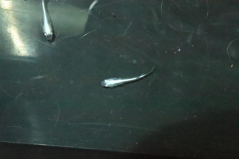 画像1: 【淡水魚】Sグレード 幹之スーパー強光メダカ【1匹】(変わりメダカ)(生体)(淡水)NKKM (1)