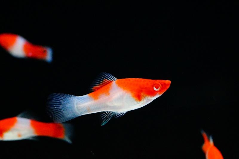 画像1: 【熱帯魚】【コイ科】【10匹】お取り寄せ 紅白ソードテール(コイ科)(生体)(淡水) (1)