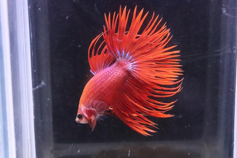 画像1: 【熱帯魚】【サンプル画像 1匹】クラウンテール(赤系)(ベタ)(生体)(淡水)NKBT (1)
