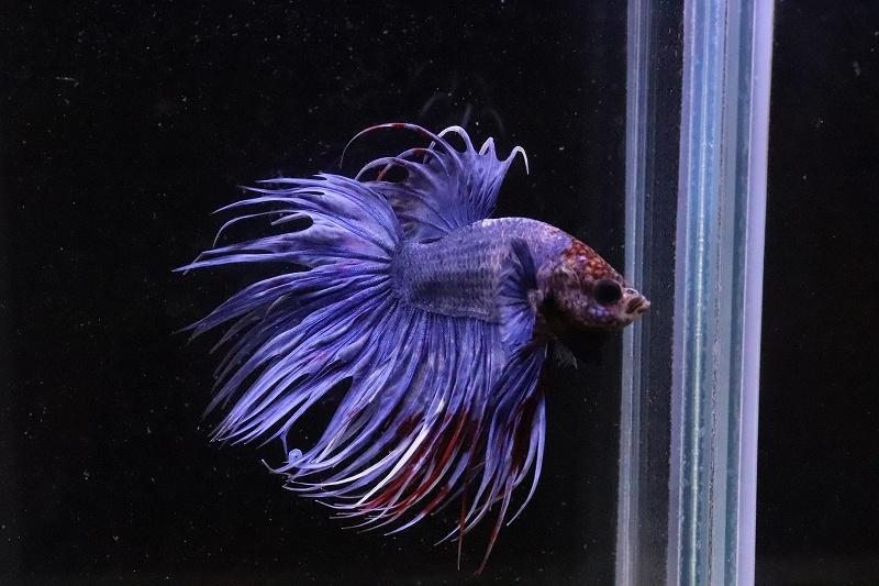 画像1: 【熱帯魚】【サンプル画像 1匹】クラウンテール(青、紫系)(ベタ)(生体)(淡水)NKBT (1)
