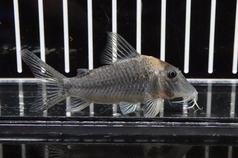 画像1: 表示価格より5%OFF 【熱帯魚】【サンプル画像 1匹】激安 コリドラス ロングノーズ ルイーザ リオタパジョス産 ワイルド(±6cm)(コリドラス)(生体)(淡水)NKCR (1)