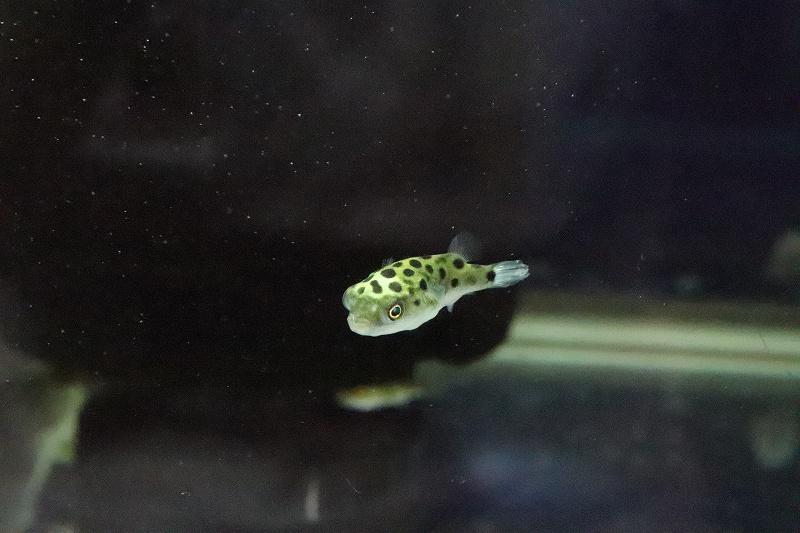 画像1: 【淡水魚】完全淡水ミドリフグ【1匹】(フグ)(生体)(熱帯魚) (1)
