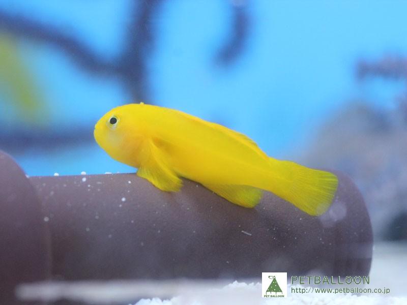 画像1: 【海水魚】キイロサンゴハゼ(1匹)(生体)(海水魚)(サンゴ) (1)