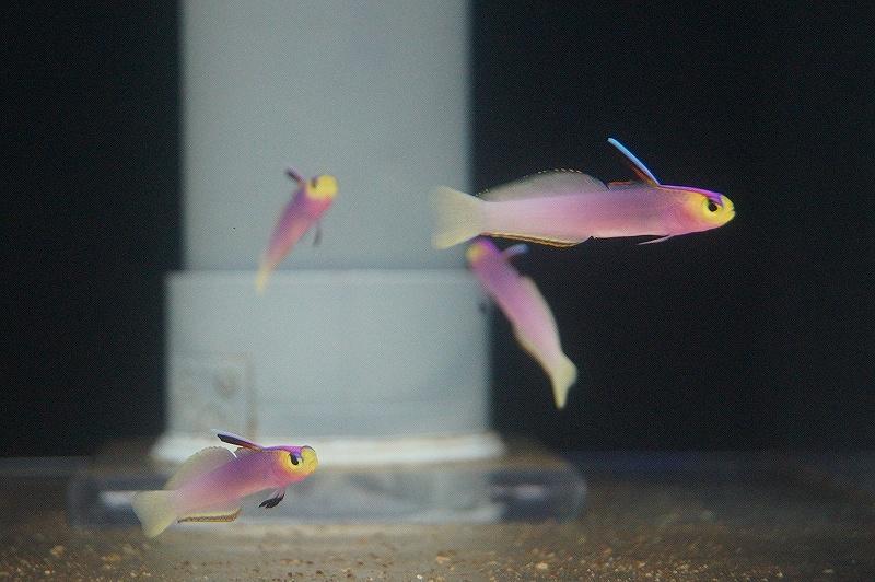 画像1: 【海水魚】【サンプル画像 1匹】パープルファイヤーゴビー±4-6cm【ハゼ】(生体)(海水) (1)
