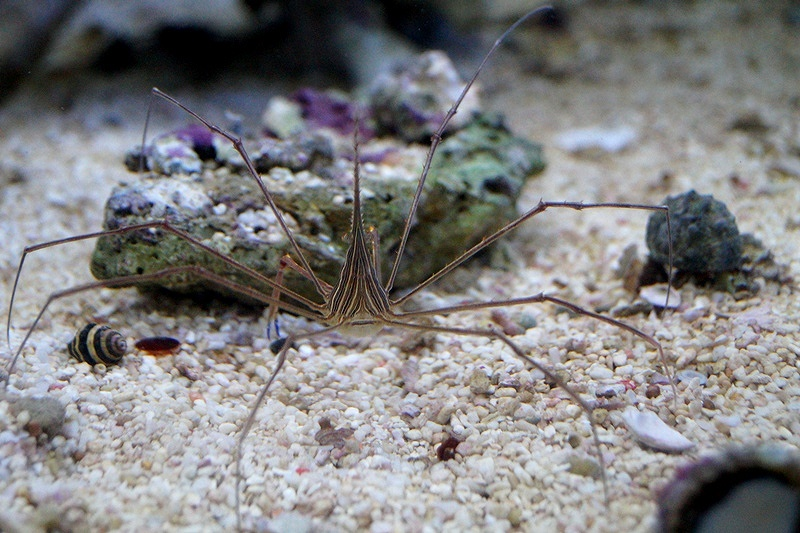 画像1: 【海水魚・カニ】アロークラブ (1匹)±6-8cm(生体)(海水魚)(サンゴ) (1)