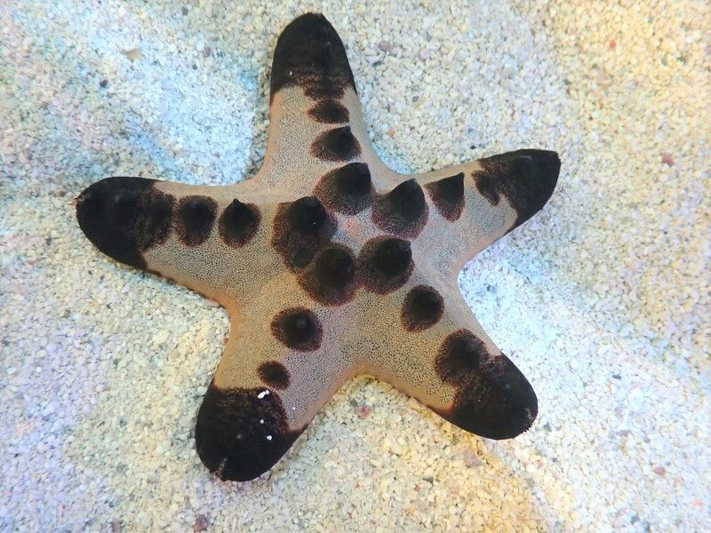 画像1: 【海水生物・ヒトデ】コブヒトデ(1匹)±5-9cm (サンプル画像)(生体)(海水魚) (1)