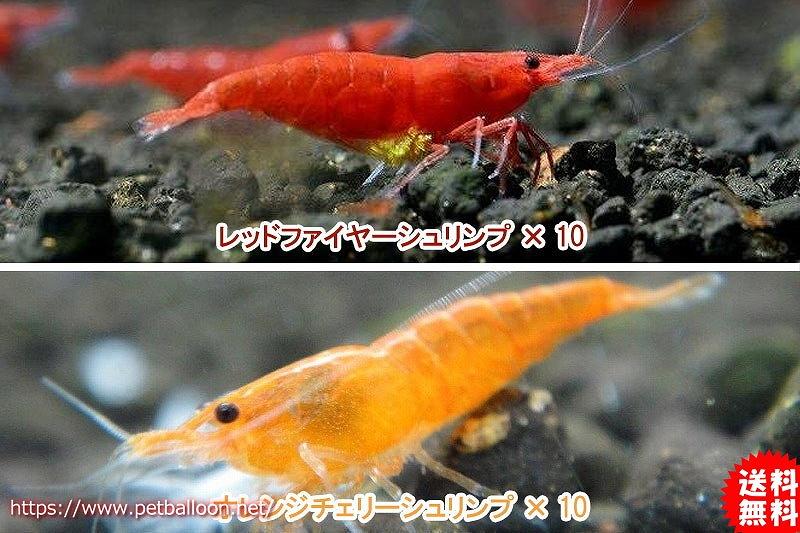 画像1: 【エビ】【シュリンプ】【送料梱包料金無料】レッド&オレンジセット 合計20匹(1.2-1.5cm)(生体)(淡水) (1)