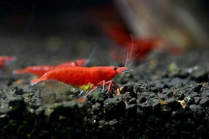 画像1: 【エビ】【シュリンプ】レッドファイヤーシュリンプ10匹(1.2-1.5cm)(生体)(淡水) (1)