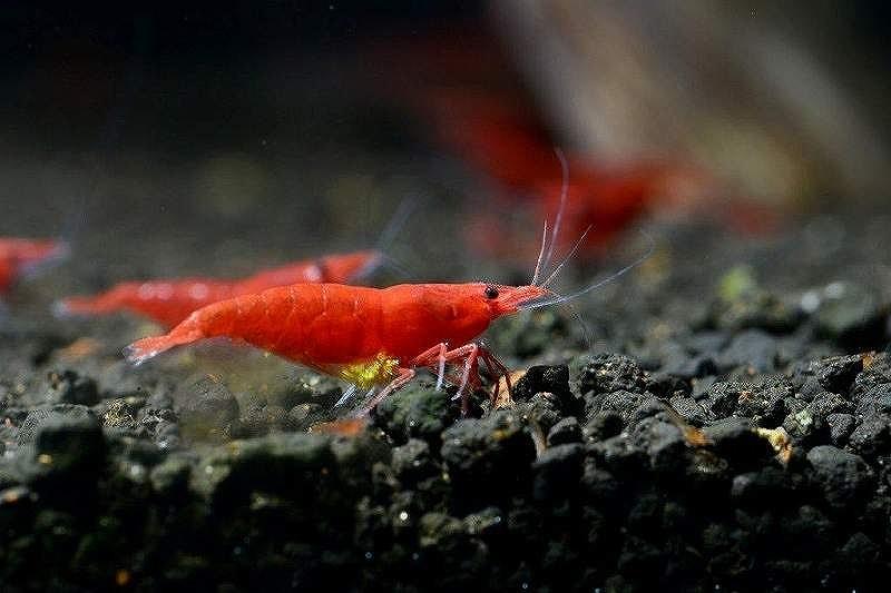 画像1: 【エビ】【シュリンプ】レッドファイヤーシュリンプ5匹(1.2-1.5cm)(生体)(淡水) (1)