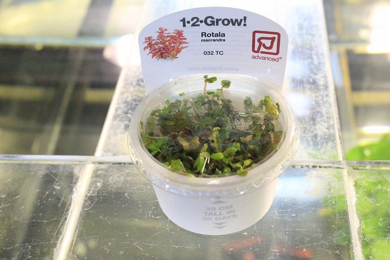 画像1: 【水草】トロピカ社 1・2・Grow ロタラマクランドラ(無農薬)【1カップ】 (1)