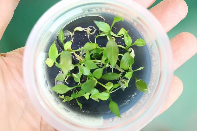 画像1: 【水草】(組織培養)クリプトコリネ ポンテデリフォリア(無農薬)【1カップ】(陰性水草) (1)