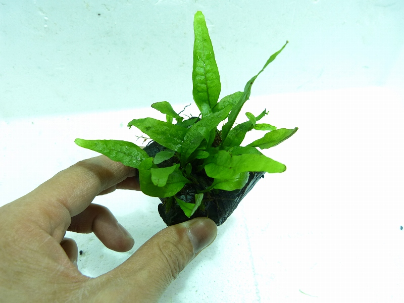 画像1: 【水草】国産プチミクロ(無農薬)【1個】 (1)